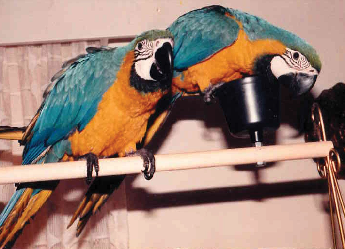 Blue and gold Macaw pets at home on Riverview Blvd.